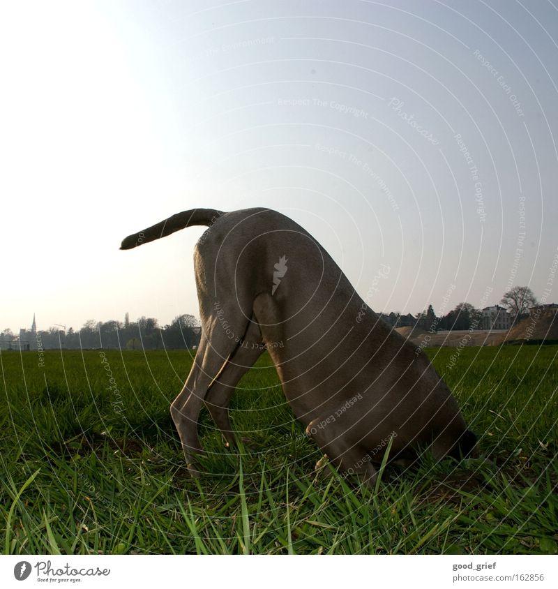 [DD|Apr|09] kopflos Hund Schwanz Wiese Gras Halm Elbe Dresden Sonne Licht Fell Freude Säugetier kopf in den sand stecken tia usertreffen