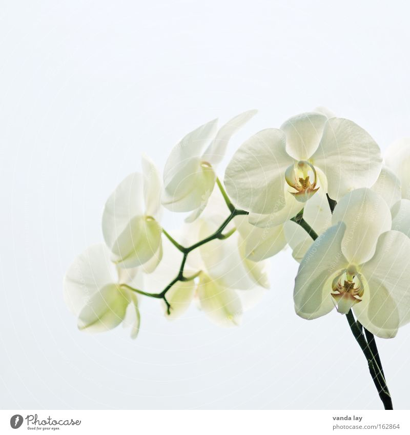 Sensation White Natur schön weiß Blume Pflanze Blüte Hintergrundbild Makroaufnahme Häusliches Leben Stengel Wohnzimmer edel exotisch Orchidee