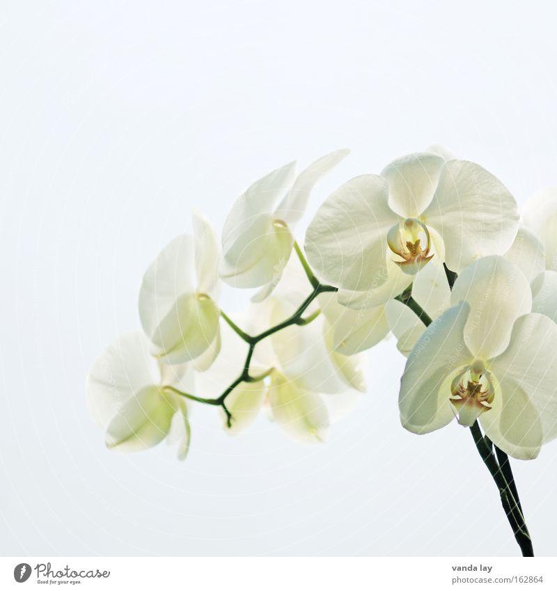 Sensation White Orchidee Blume Pflanze Natur Häusliches Leben Blüte exotisch Stengel schön edel Makroaufnahme weiß Hintergrundbild Nahaufnahme Wohnzimmer