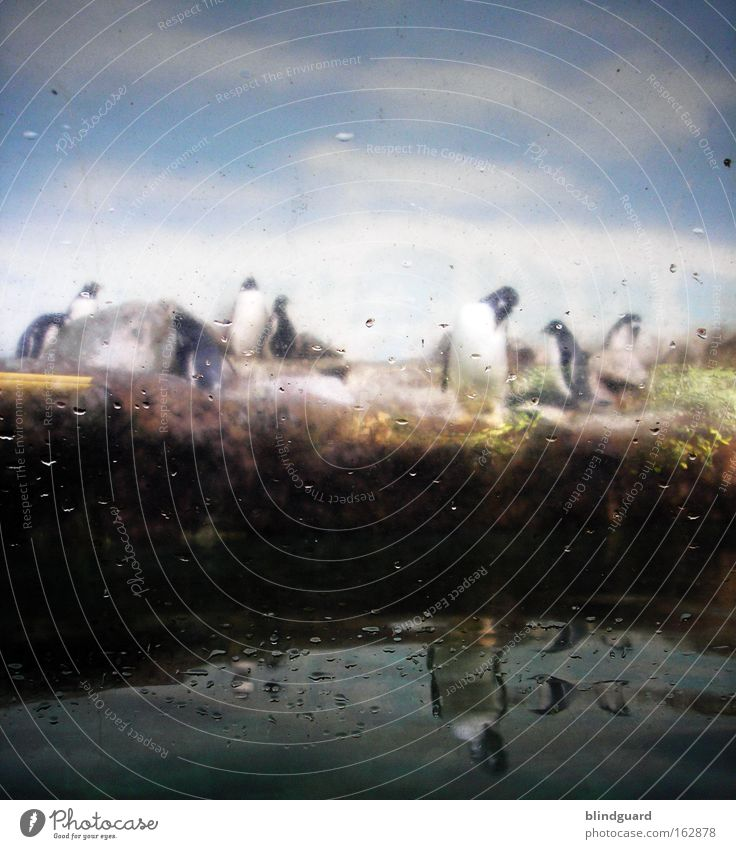 POLARisierend Zoo Tier Wasser Pinguin Glas Traurigkeit Fenster gefangen Blick besuchen stehen Natur Nachbildung gestellt künstlich Lebensraum Kunst Kultur Vogel