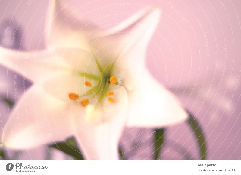 Lilie_06 Blume Lilien