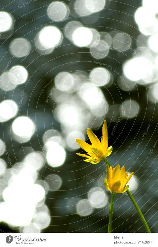 Once in a lifetime Blume Blüte gelb glänzend Licht Lichtpunkt Sonne Frühling Sommer Blühend Wasser Küste