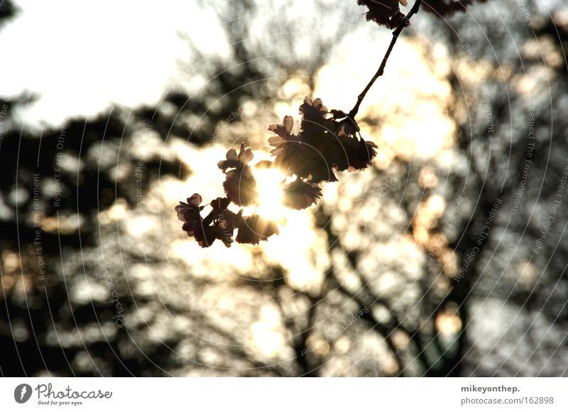Kirschblüte Kirsche Sonne Sonnenuntergang Kirschblüten Schatten Blüte Frühling