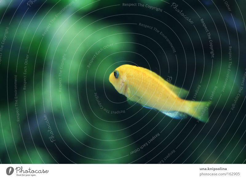 poisson Fisch Schwimmen & Baden tauchen Zoo Wasser Aquarium Glas gelb grün Tierkreiszeichen Algen Wasserpflanze Tiefsee Becken Unterwasseraufnahme