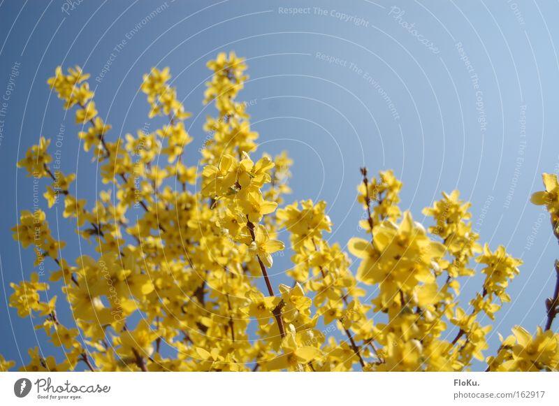 Der Frühling ist da! Farbfoto Außenaufnahme Tag Kontrast Sonnenlicht Natur Pflanze Himmel Wolkenloser Himmel Schönes Wetter Sträucher Blüte blau gelb Glück