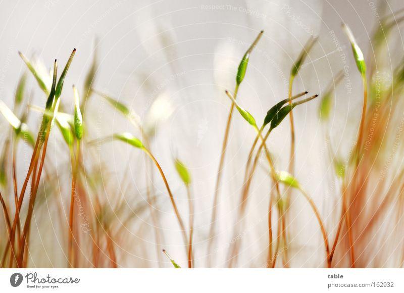 zwei . . . Pflanze 7 8 Makroaufnahme Nahaufnahme Wachstum Gesellschaft (Soziologie) Frühling Natur Feuchtgebiete grün weiß Stengel Licht paarweise