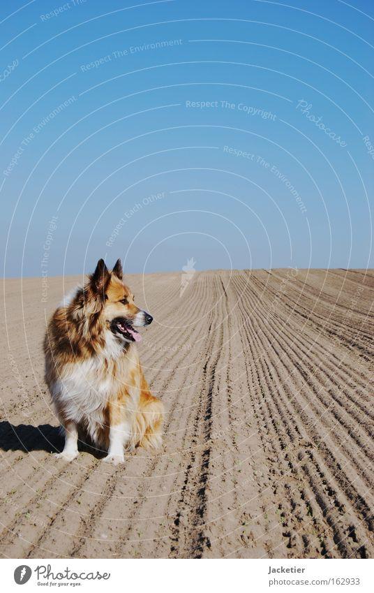 Hund Himmel Tier braun Feld Wüste Collie