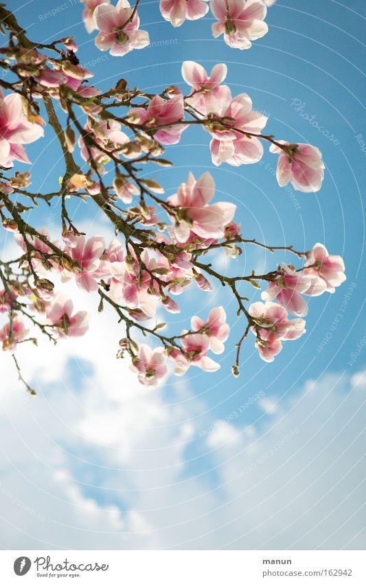 Magnolia Frühling Blüte Magnoliengewächse Magnolienblüte Wärme schön rosa blau Wetter Ast Gartenbau Landschaft Hintergrundbild frisch Frühjahrsgruß