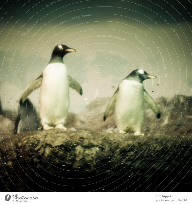 Checker² Tier stehen Suche Team Zoo Säugetier Pinguin Flosse Antarktis Tiergarten Kaiserpinguine