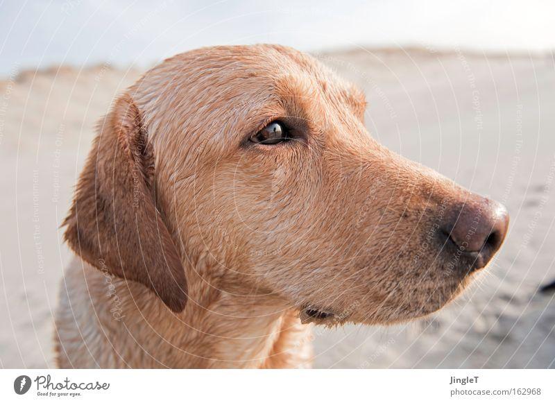 sensitive Freude Strand träumen Hund Traurigkeit Denken Küste Insel Säugetier sensibel wach Labrador intensiv Profil Niederlande Geistesabwesend
