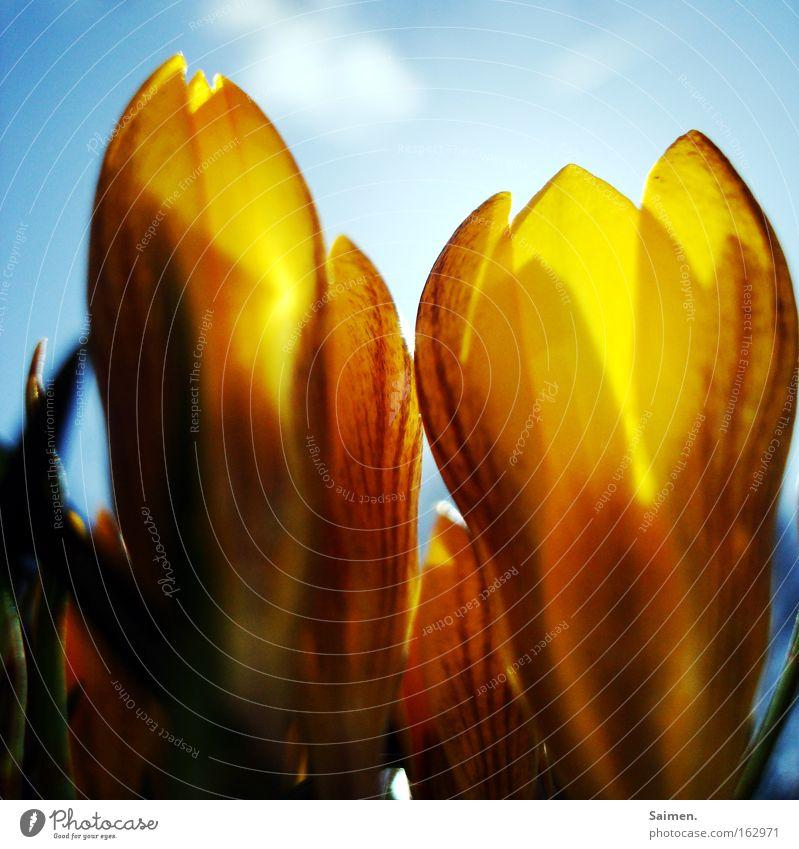 kleine Riesen Farbfoto Licht Gegenlicht Freude schön Leben Sonne Himmel Wolken Frühling Schönes Wetter Blume Fröhlichkeit hell gelb Krokusse Gute Laune heiter