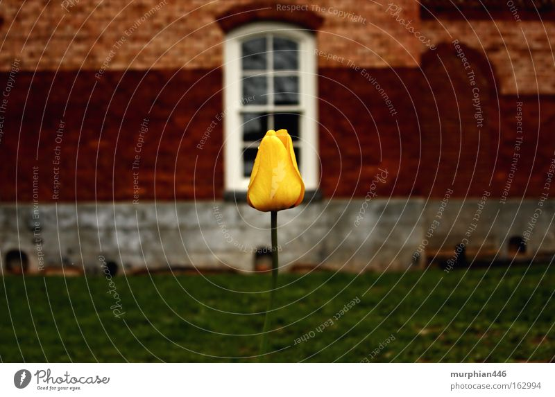 Tulpe im Winter Blume Blüte Frühling Gebäude Winterblume North Carolina Backstein Hayesville