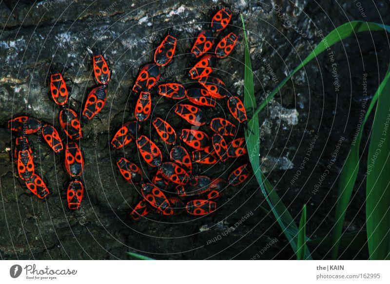 [Harusaki|DD] Gruppentreffen Baum rot schwarz Wiese Gras Frühling Sand Erde Boden Insekt Lebewesen Käfer Wurzel Schädlinge Feuerkäfer