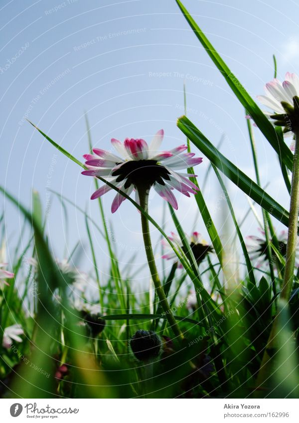[Harusaki|DD] Wenn ich groß bin... Farbfoto Außenaufnahme Nahaufnahme Makroaufnahme Menschenleer Tag Froschperspektive Natur Himmel Frühling Gras Wiese blau