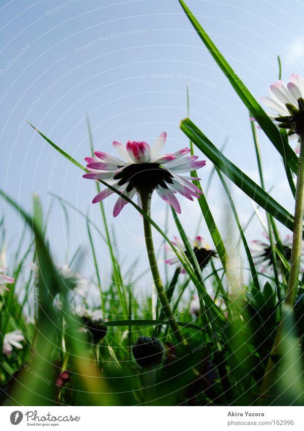[Harusaki|DD] Wenn ich groß bin... Natur Himmel weiß grün blau Wiese Gras Frühling Gänseblümchen Wiesenblume