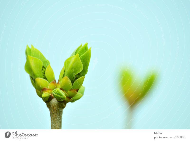 Doppel-Frühling Blütenknospen Blattknospe Fliederbusch 2 Doppelbelichtung Unschärfe blau grün Zweig paarweise