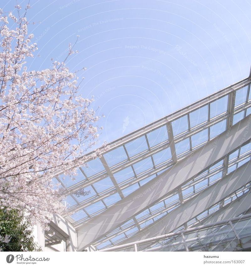 Himmel blau Frühling rosa Japan Kirschblüten