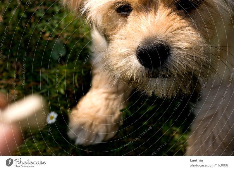 betörung Mensch Hand Sommer Tier Wiese Spielen Hund warten Nase Finger Rasen Konzentration Appetit & Hunger Gänseblümchen Fressen Säugetier
