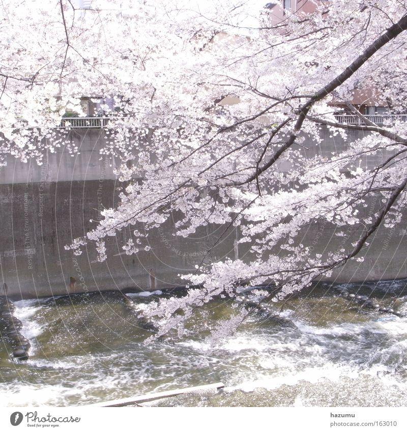 weiß Frühling rosa Fluss Japan Bach Asien Tokyo Kirschblüten