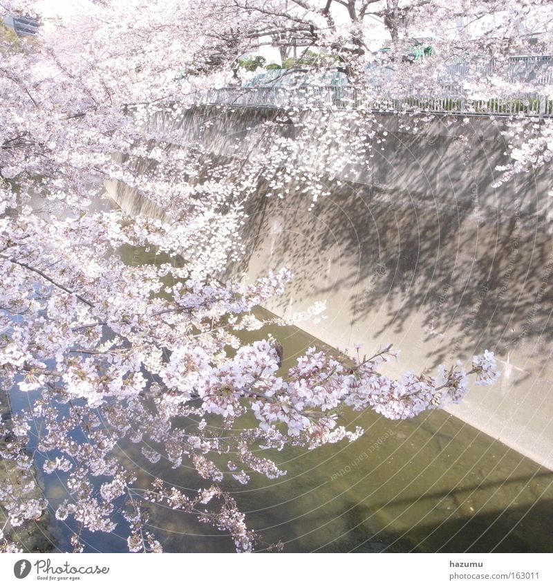 weiß Frühling rosa Blüte Fluss Japan Bach Asien Tokyo Kirschblüten
