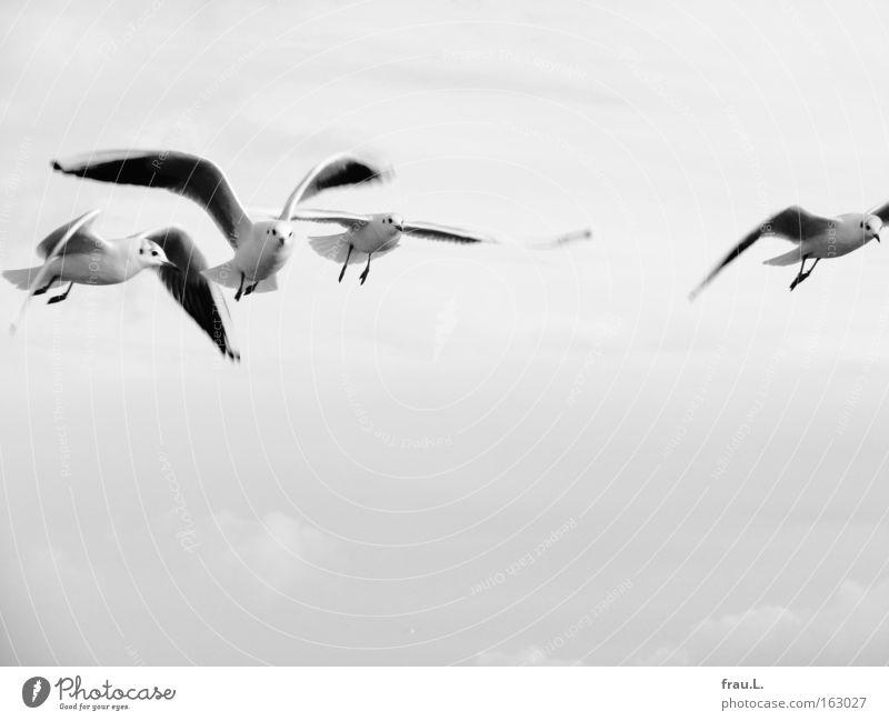 auf Linie Himmel Meer Ferien & Urlaub & Reisen Tier Vogel elegant fliegen frei Flügel Ostsee Möwe Schwarzweißfoto Schwarm Boltenhagen