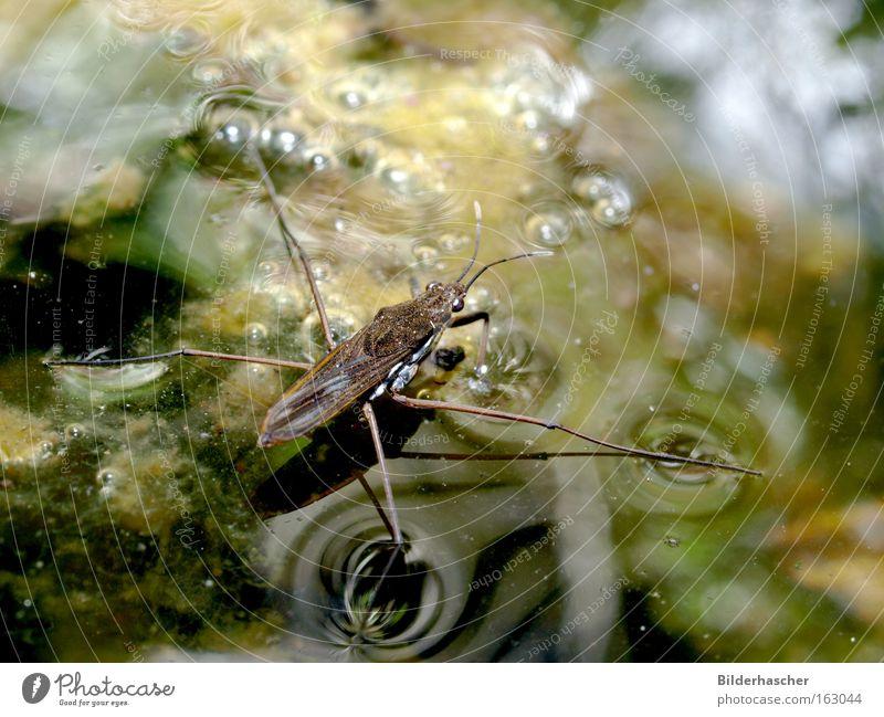 Wassertreter Wasserläufer Teich Oberflächenspannung dreckig Insekt Beine Flügel Fühler Reflexion & Spiegelung Schatten Luftblase Algen laufen Gewässer Biotop