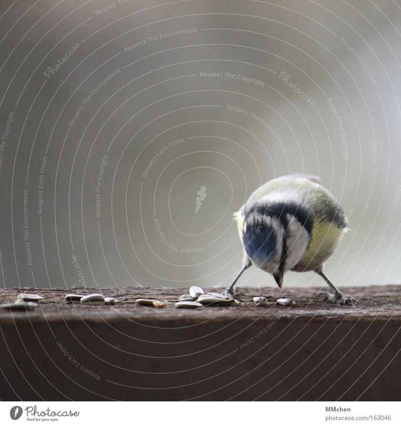 X gelb Vogel Ernährung Appetit & Hunger Fressen ködern Kerne füttern Futter Samen Meisen Makroaufnahme Blaumeise Sonnenblumenkern x-beinig picken