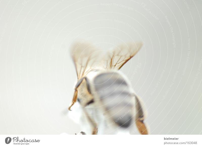 beefly weiß Sonne Sommer Freude gelb grau Flügel Biene durchsichtig hinten