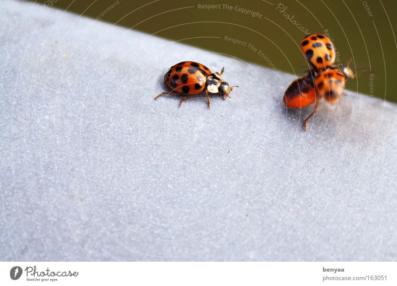 Mir nach Sommer Tier Wildtier Käfer Flügel 2 Tierpaar fliegen krabbeln niedlich rot schwarz Freundschaft Zusammensein Tierliebe Hemmung Flugangst Partnerschaft