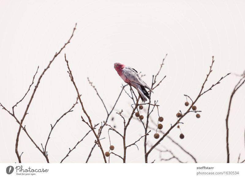 Rose breasted Kakadu Vogel Natur Ferien & Urlaub & Reisen Pflanze weiß rot Tier Wald grau rosa Tourismus Wildtier