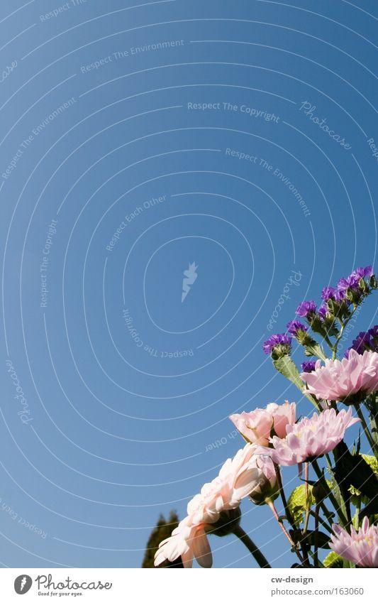 SchnittBlumen Natur schön Himmel weiß blau Pflanze Sommer Frühling Rose Blumenstrauß Gerbera Grünpflanze Wolkenloser Himmel