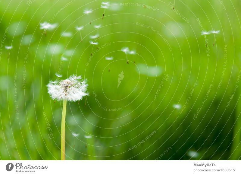 Sonnenlicht der Löwenzahnsamen morgens Natur Pflanze grün Sommer Farbe Blume Freiheit fliegen Uhr Wachstum frisch Wind Pollen horizontal