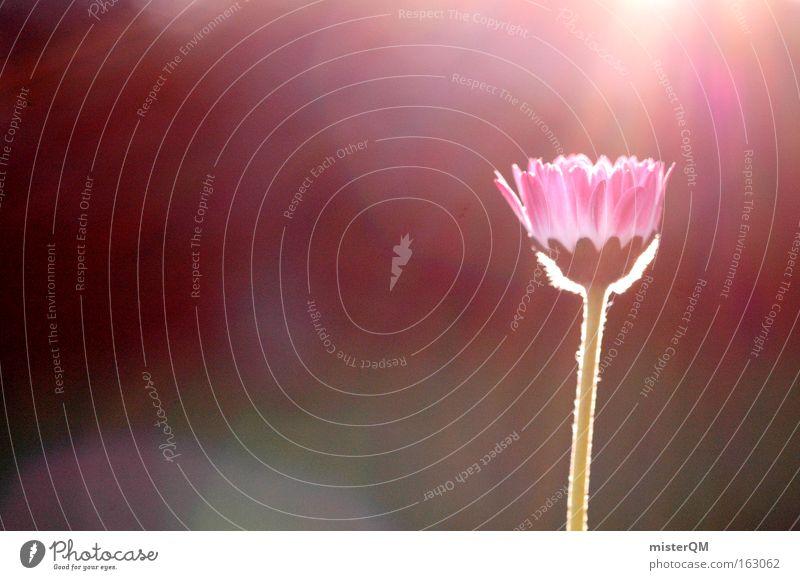 Into The Sun. Gänseblümchen Wiese Gras Licht Sonne Sommer frisch Blühend Gegenlicht Sonnenuntergang Farbe Blume Natur Blüte Detailaufnahme Vergänglichkeit