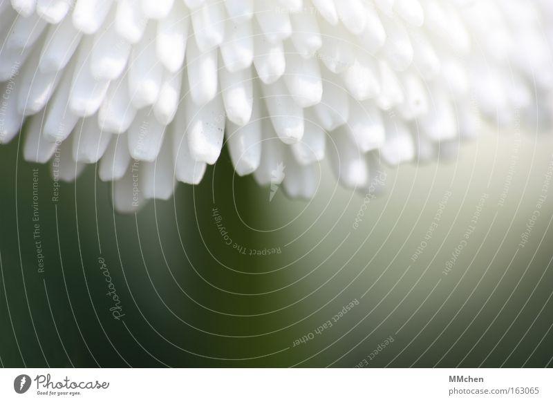 Unterm Sonnendach weiß grün Blüte Dach Dekoration & Verzierung Stengel Gänseblümchen Wiesenblume