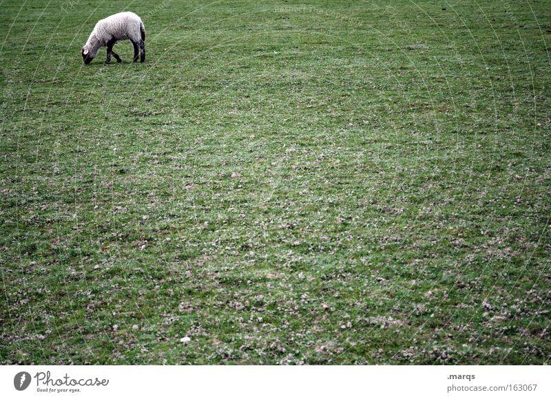 Busy Pflanze Ernährung Einsamkeit Tier Arbeit & Erwerbstätigkeit Wiese Rasen Weide Schaf Fressen Säugetier Wolle Single Fortschritt Nutztier Tierjunges