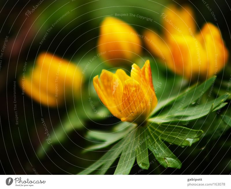 winterling verspätet Natur grün Pflanze Blume gelb Wiese Wärme Frühling Blüte Park Gesundheit frisch Schönes Wetter Lebensfreude exotisch Vorfreude