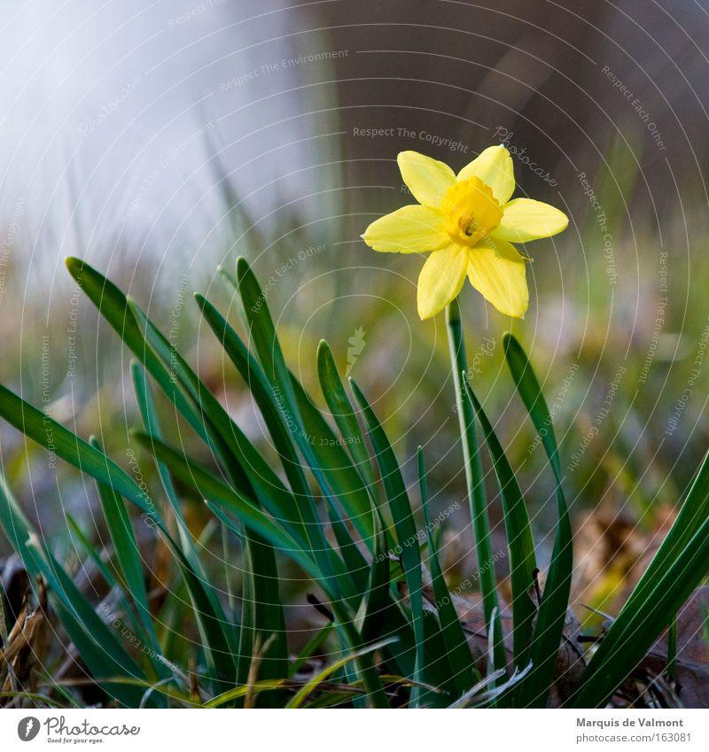 Frühlingsgefühle Blume Blüte Narzissen Amaryllisgewächse Pflanze Natur Frühlingsblume Einsamkeit einzeln