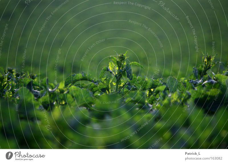 einer unter vielen Natur grün Pflanze Einsamkeit Frühling mehrere außergewöhnlich Konzentration Lebewesen Raps