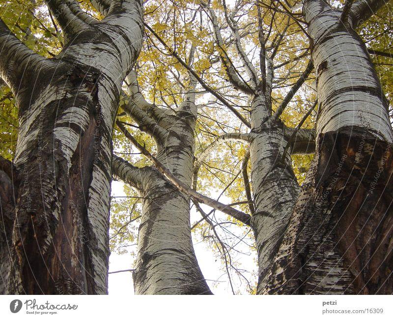 Blickrichtung nach oben Natur Baum Blatt gelb Herbst Nebel Ast Baumstamm Birke Lichteinfall