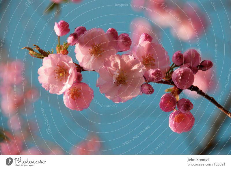 bienchen und blümchen Blüte prächtig Frühling rosa rot Blume Blütenknospen Leben Park schön