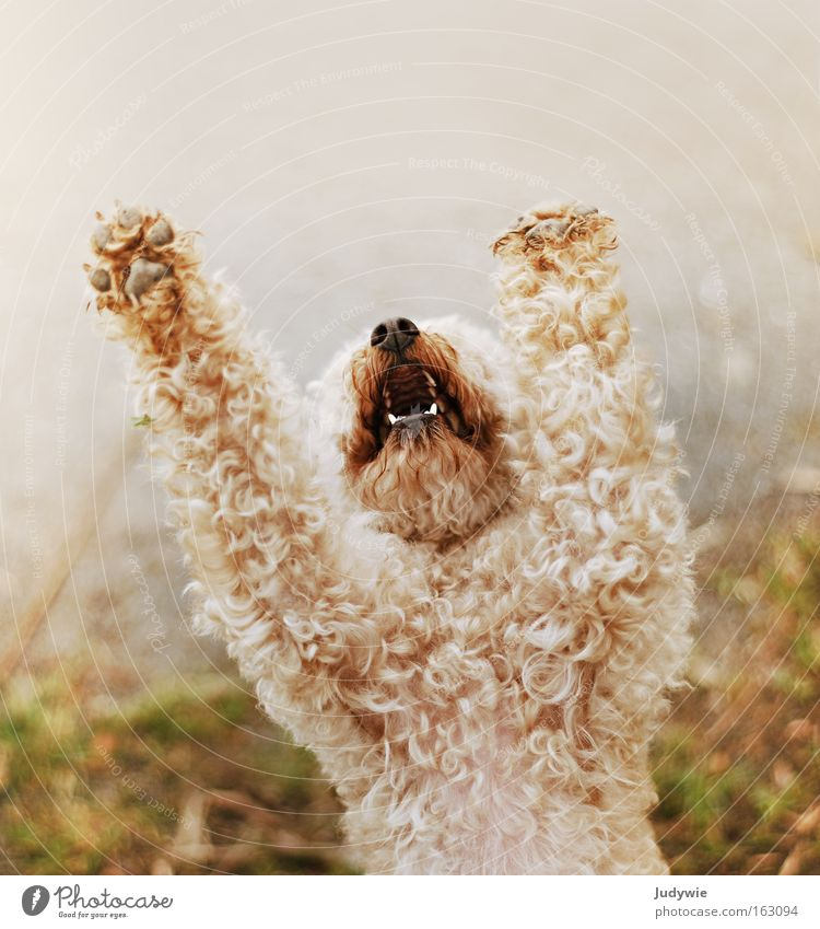 Betteln Farbfoto Außenaufnahme Textfreiraum oben Tag schön Locken Hund Pfote schreien klein Wut Trauer Angst Verzweiflung Ärger Pudel betteln flehen Gebet