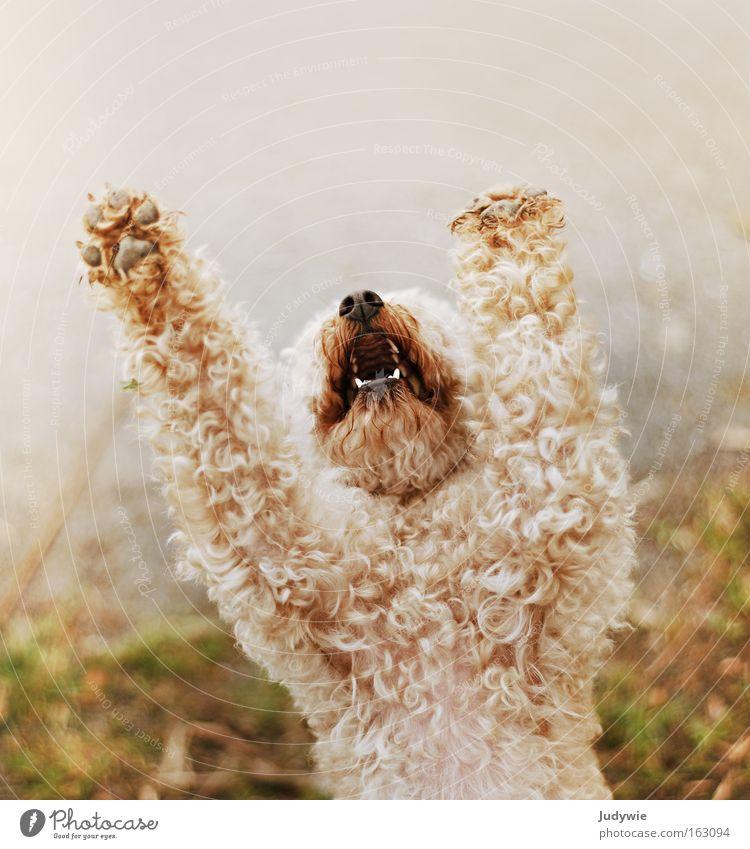 Betteln schön Hund Angst klein Trauer Wut schreien Verzweiflung Gebet Säugetier Pfote Locken Ärger Pudel betteln flehen