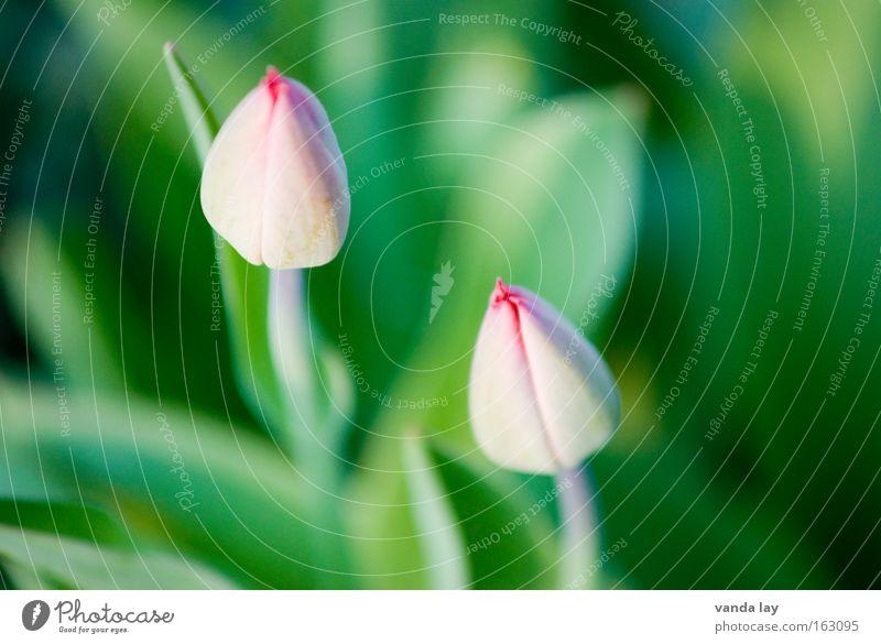 In den Startlöchern Blume Frühling Tulpe Wachstum Blüte Frühlingsblume Niederlande rosa 2 Makroaufnahme Pflanze Muttertag Natur Nahaufnahme paarweise