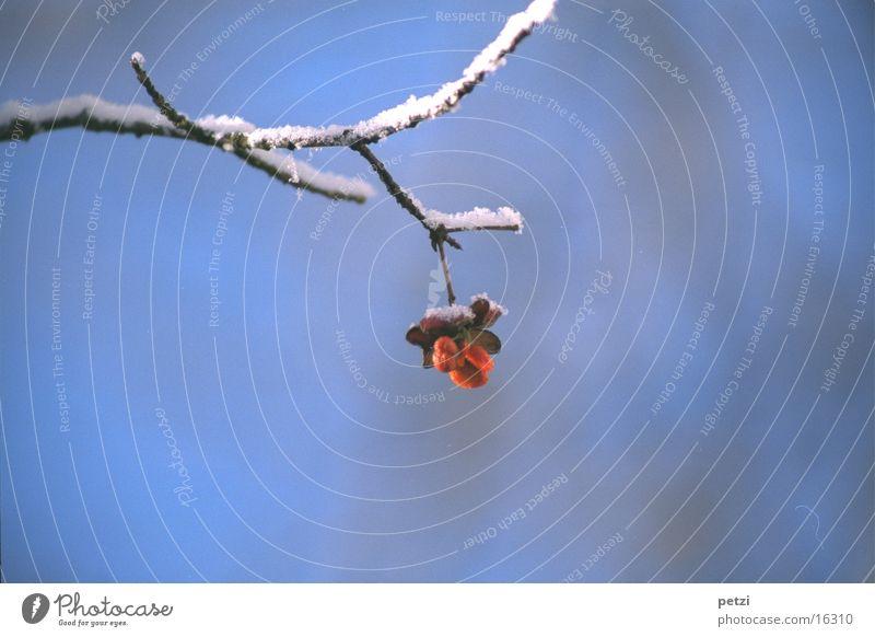 Pfaffenhütchen Winter kalt Schnee Eis Frucht Ast zart zerbrechlich erfrieren