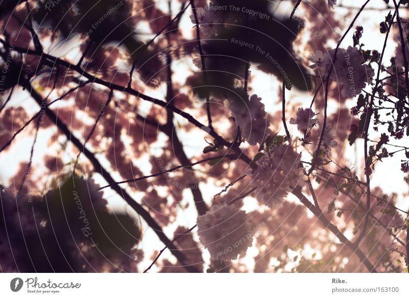 Frühlingstagstraum. Natur grün schön Baum rot Pflanze Sonne Sommer Blume Umwelt Frühling Blüte träumen Park Stimmung rosa