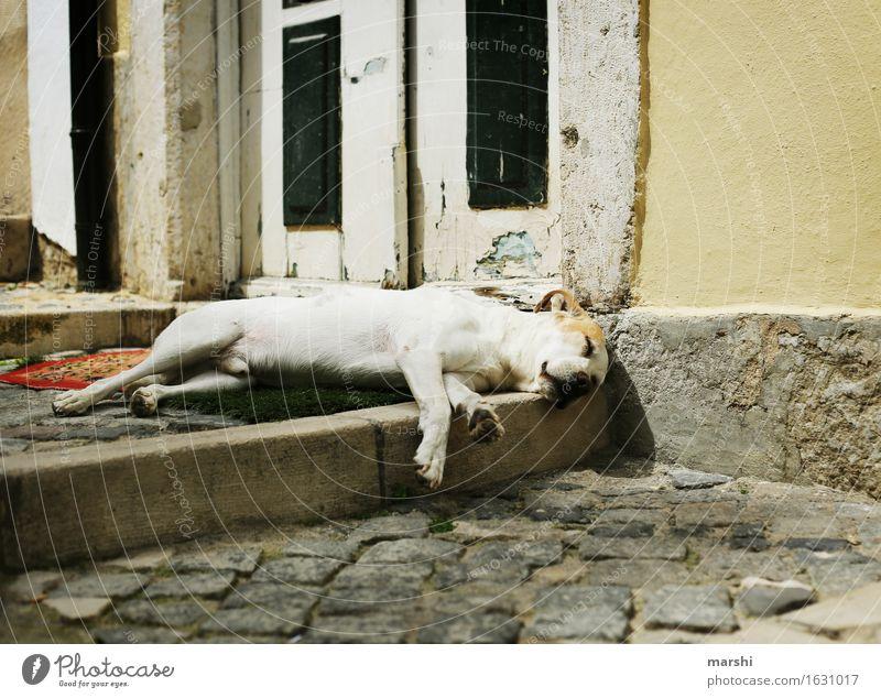 Mittagsschläfchen Tier Haustier Hund Pfote 1 Stimmung Straße Müdigkeit schlafen Mittagsschlaf Hundeschnauze Erschöpfung Lissabon Reisefotografie Farbfoto