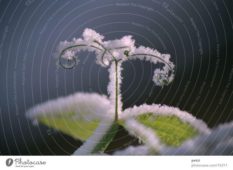 Schnee verzaubert weiß blau Pflanze Winter Blatt Wassertropfen gestreift Ranke Winterstimmung