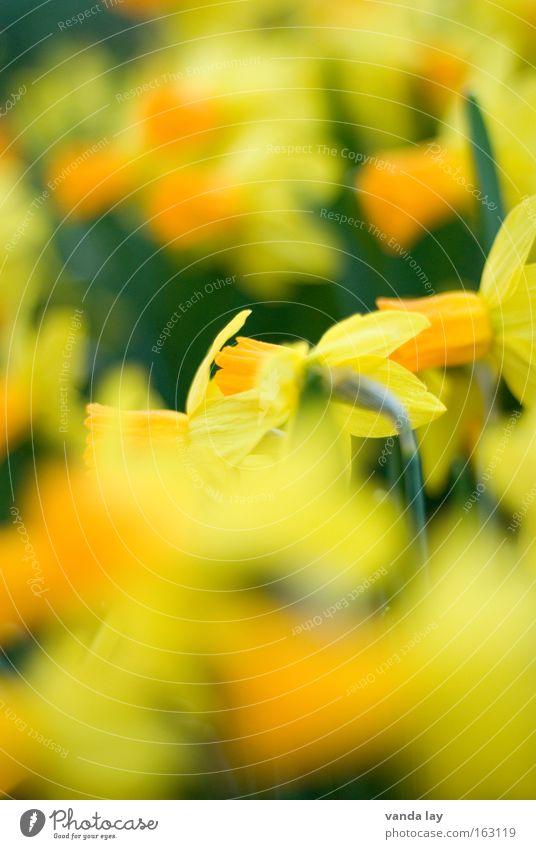 Narziß und Goldmund Pflanze grün Blume gelb Frühling Blüte Hintergrundbild Mai Muttertag April März Narzissen Frühblüher Gelbe Narzisse