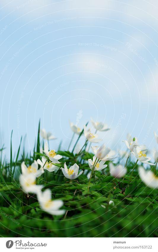 Frühlingszeit schön Blume Wiese Blüte hell Hintergrundbild frisch Fröhlichkeit Schönes Wetter Gruß Zusteller Anemonen Waldblume