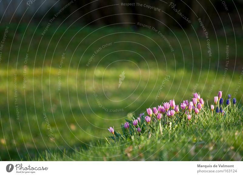 Sammeln zum Angriff Blume Frühblüher Frühling Garten Raum grün Krokusse Park Frühlingsboten tief Wildtulpen